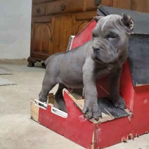 australian shorty bull for sale cane corso puppies for sale, cane corso puppies for sale in USA, cane corso puppies for sale in california, cane corso puppies for sale near me, cane corso puppies for sale in australia, cane corso puppies for sale under $500, cane corso puppies for sale texas, cane corso puppies for sale 2021, cane corso puppies for sale ohio, cane corso puppies for sale australia, cane corso puppies for sale arizona, cane corso puppies for sale alabama, cane corso puppies for sale adelaide, cane corso puppies for sale arkansas, cane corso puppies for sale austin, cane corso puppies for sale atlanta, cane corso puppies for sale alberta, cane corso puppies for sale bc, cane corso puppies for sale buffalo ny, cane corso puppies for sale belfast, cane corso puppies for sale brisbane, cane corso puppies for sale barrier, cane corso puppies for sale bradford, cane corso puppies for sale breeders cane corso puppies for sale bristol cane corso puppies for sale craigslist cane corso puppies for sale california cane corso puppies for sale colorado cane corso puppies for sale cheap cane corso puppies for sale canada cane corso puppies for sale cape town cane corso puppies for sale chicago cane corso puppies for sale calgary cane corso puppies for sale dallas cane corso puppies for sale detroit cane corso puppies for sale denver cane corso puppies for sale delaware cane corso puppies for sale devon cane corso puppies for sale dallas texas cane corso puppies for sale derby cane corso puppies for sale dayton ohio cane corso puppies for sale essex cane corso puppies for sale edmonton cane corso puppies for sale east texas cane corso puppies for sale europe cane corso puppies for sale england cane corso puppies for sale edinburgh cane corso puppies for sale el paso cane corso puppies for sale east coast cane corso puppies for sale florida cane corso puppies for sale fresno cane corso puppies for sale facebook cane corso puppies for sale fl cane corso puppies for sa
